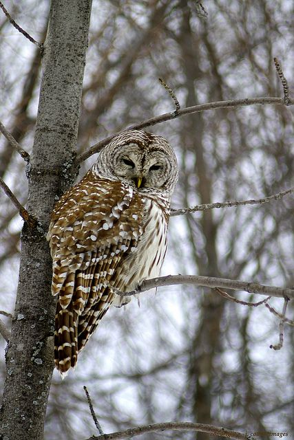 Barred Owl: We saw this magnificent bird in our pecan tree last night.  ..Cold Morning  by S. J. Coates..