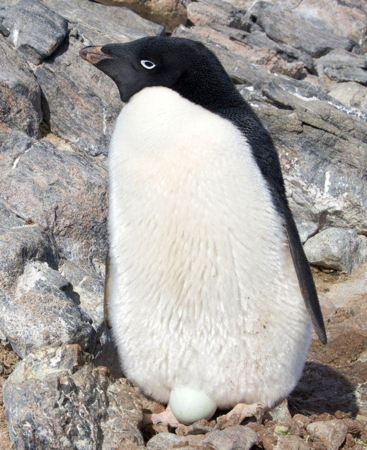 El pingüino adelaida (Pygoscelis adeliae) Este pingüino tiene de 60 a 70 cm de longitud y alrededor de 4 kg de peso. Su rasgo distintivo es el anillo circular blanco que rodea el ojo y las plumas en la base del pico. Estas largas plumas ocultan la mayor parte del pico rojo. La cola es un poco más larga que las de otros pingüinos. Los pingüinos adelaida se reúnen en los lugares de reproducción en octubre. Sus nidos consisten en un grupo de piedras apiladas.