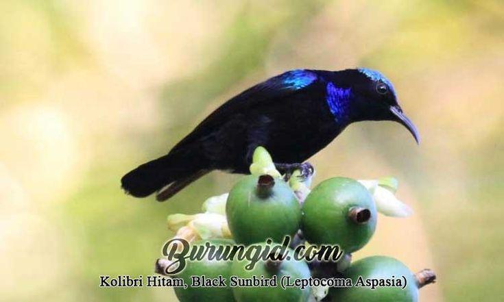 Kolibri Hitam Black Sunbird Leptocoma Aspasia Burung Kolibri Burung Papua Nugini