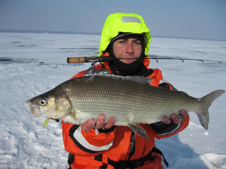 Nice Whitefish using the AmphibiaN Rod Holder