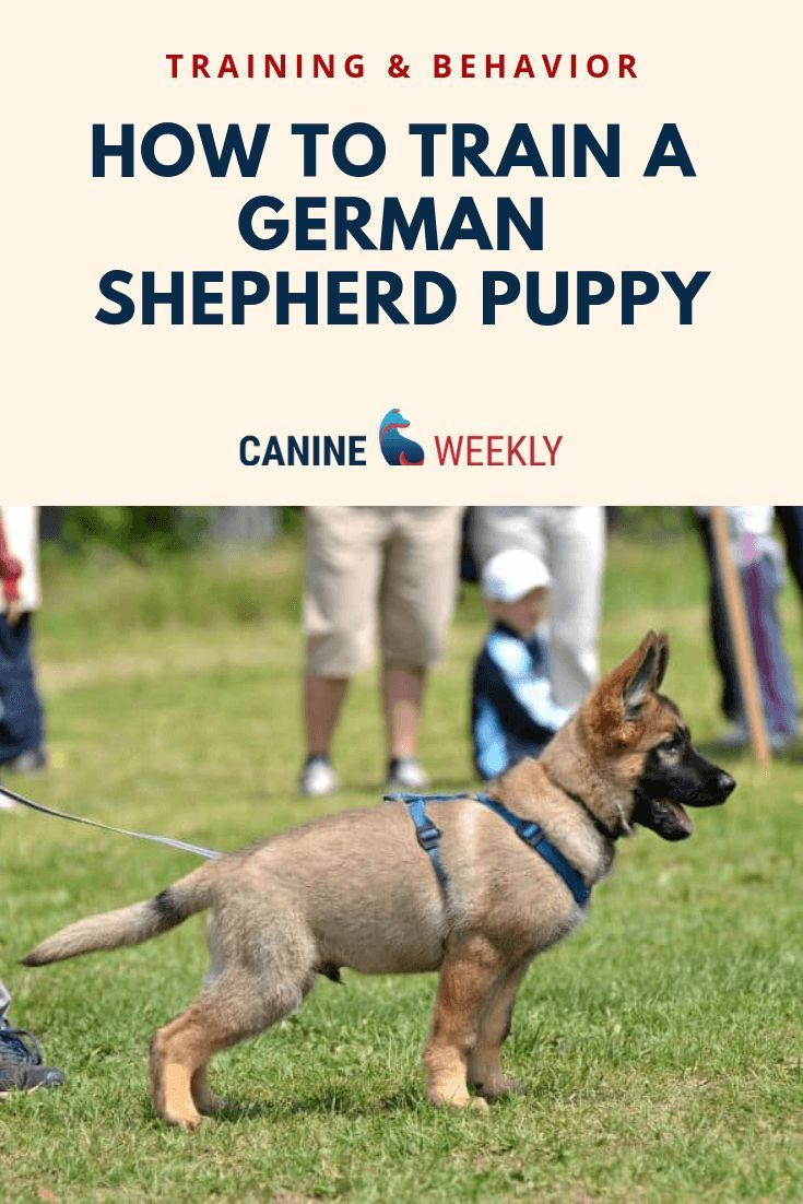 How To Train A German Shepherd Puppy German Shepherd Puppies