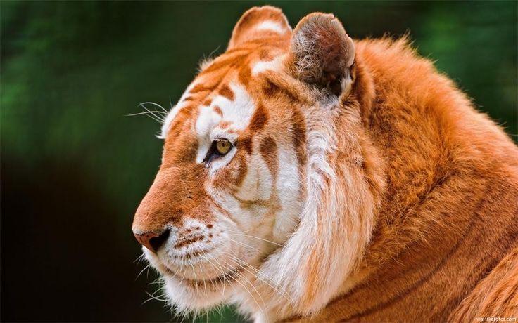O tigre dourado (golden tabby tiger, em inglês) é um tigre com uma variação de cor causada por um gene recessivo. A sua bela cor dourada é causada por um gene que até agora só foi encontrado precisamente nos tigres de cativeiro. Acredita-se que existam apenas um pouco mais de 30 tigres dourados em todo …