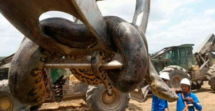 Encontraron una anaconda gigante y la mataron - El Diario 24