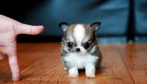 I have fallen for small dogs, whole heartedly. (more so when they look like baby ewoks)
