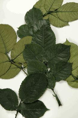 Preserved Rose Leaves 10 stems