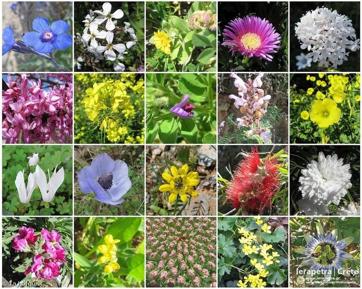 Spring flowers II  Eastern Crete, March-April, 2012    Copyright: Ia Löfquist