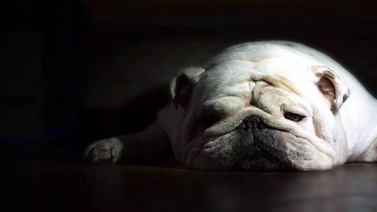 Wallpapers Baggy Bulldogs Bulldog Wallpaper Bulldog
