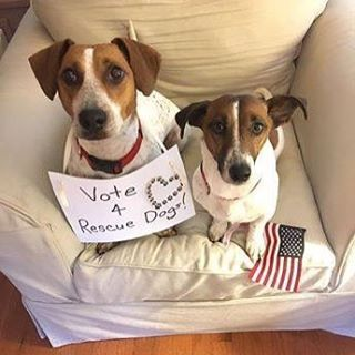 "Regardless of who you vote for at the U.S. polls today, we thank everyone who ""votes"" to rescue, re-home and adopt dogs around the world. Thanks to Mark and former GA JRT rescue Penny for sharing the message. They've got OUR vote! :)"