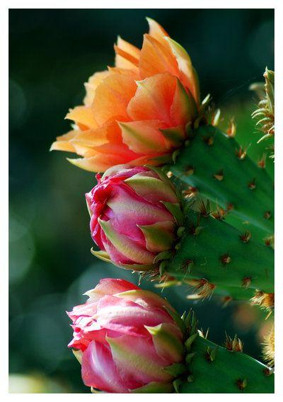 Cactus Blossoms: