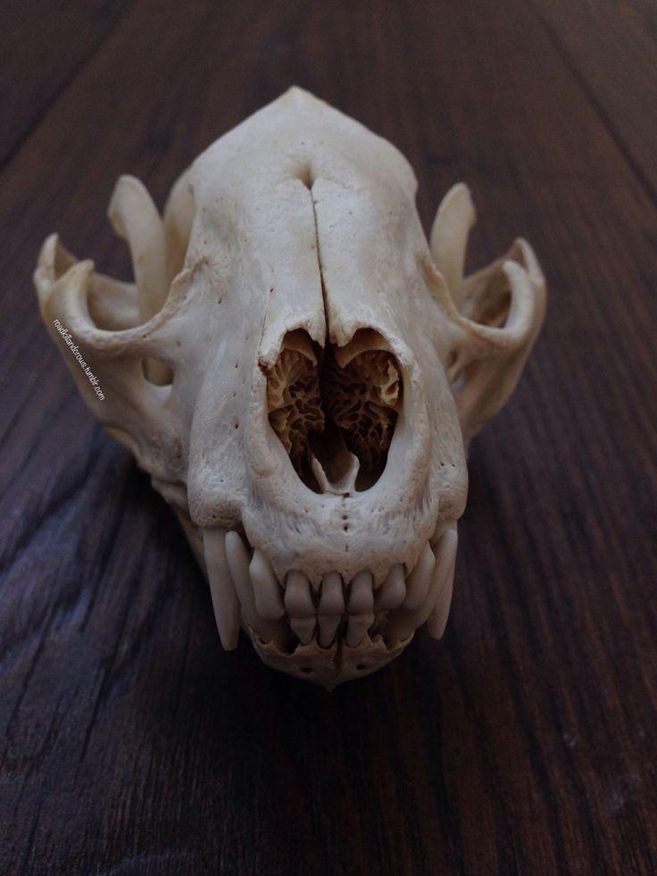 roadkillandcrows: Raccoon skull. - ???