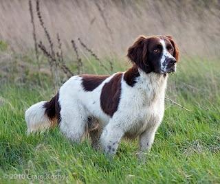 17 Best Images About Dutch Partridge Dog On Pinterest