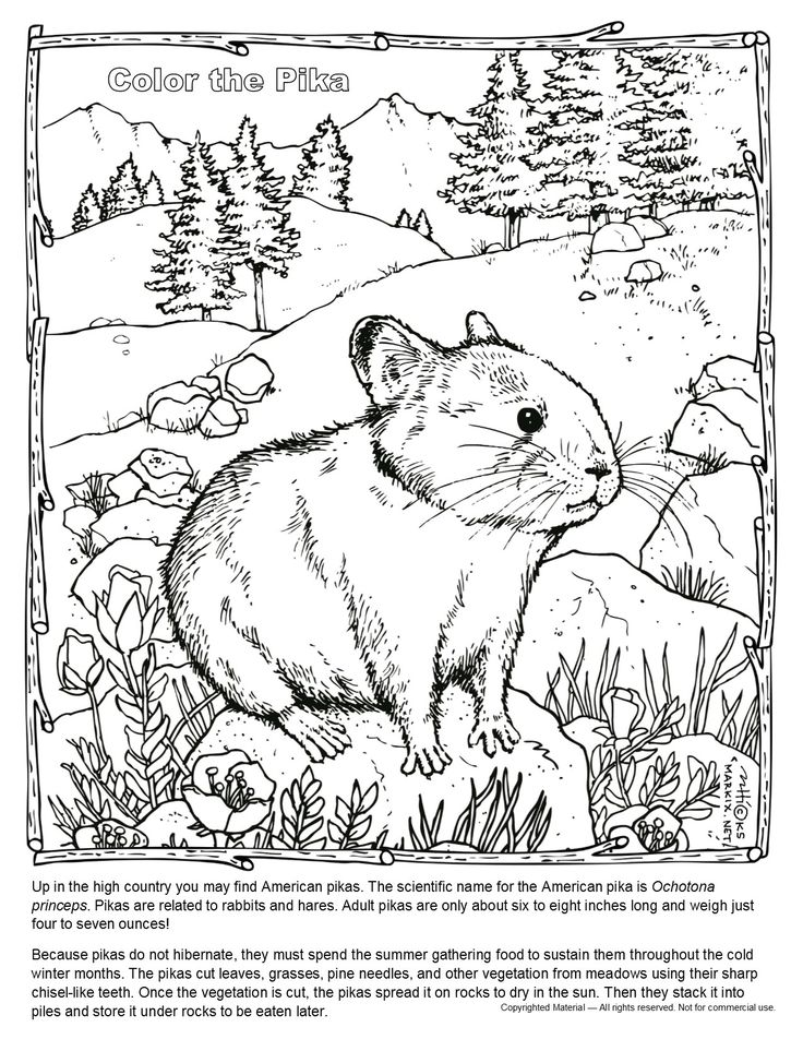 Pika Coloring Page Up In The Mountains You May Find American Pikas Are Related To Rabbits And Hares Adult Only About Six Eight Inches