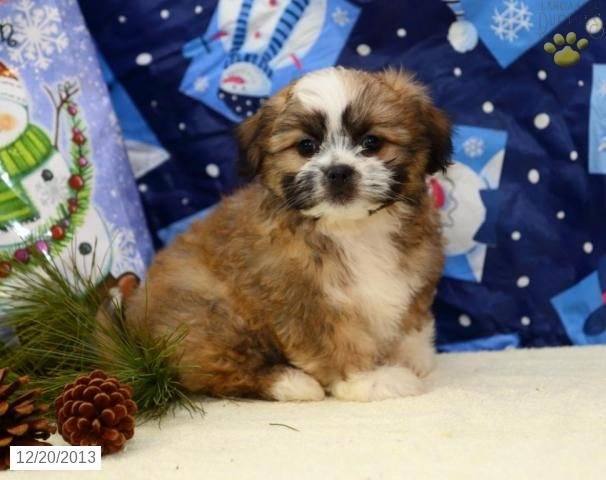 teddy bear puppies for sale in michigan 17 best ideas about shichon puppies for sale on pinterest 5639