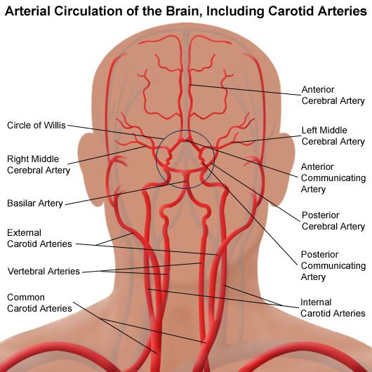 Illustration of the circulation system of the brain, including carotid arteries
