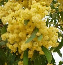 Native wattle tree in flower australia
