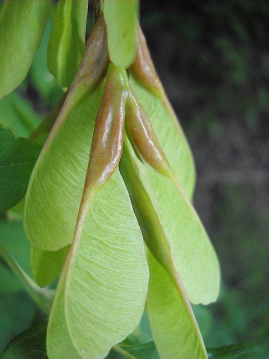 30 Best Ideas About Tree Seeds On Pinterest Honey Locust