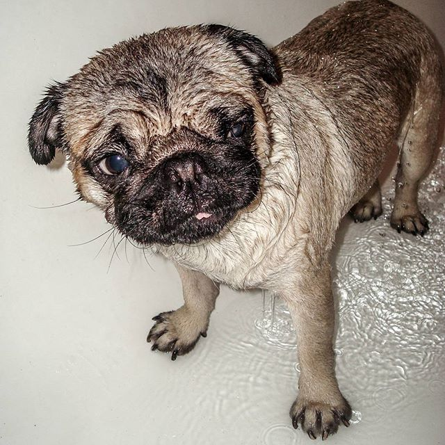 #pug #pugs #dog #puppy #bath #squeakyclean #wet