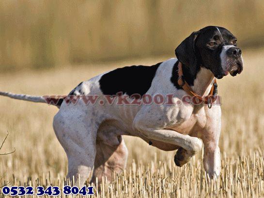 Köpek Dünyası 05323438041: Av köpeği 05323438041