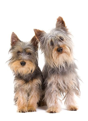 Pup 04 Je0017 01 Silky Terrier Puppy And Adult Sitting On White