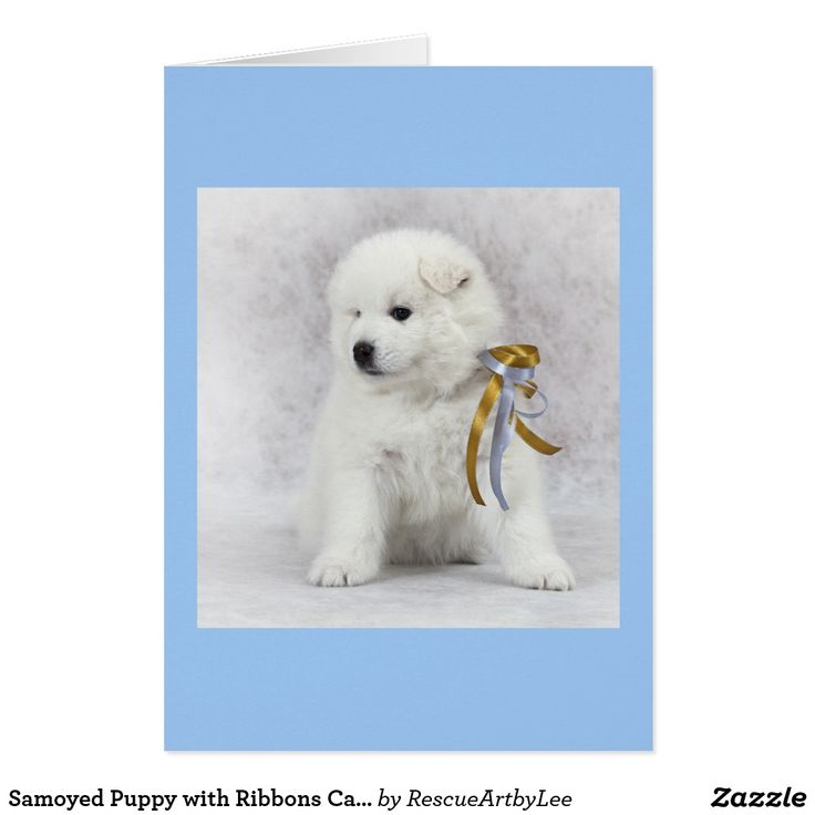 Samoyed Puppy with Ribbons Card – Blank | Zazzle.com   – …..Finding Texture….