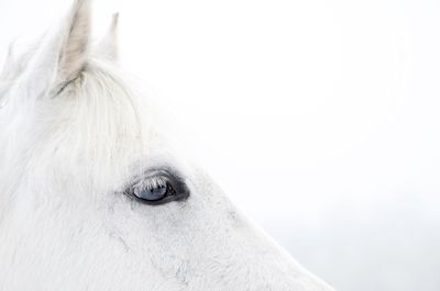 @loboman - Den vita hästen. Close up photography of a white horse. Available as poster and laminated picture at Printler, the marketplace for photo art.