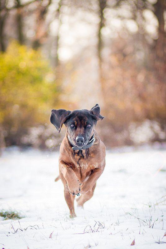 heeere!  #dog #hund #süss #winter #wald #winterwonderland #jagdhund #bavarianmountaindog #bayerischergebirgsschweisshund #actionphotography #action #photography