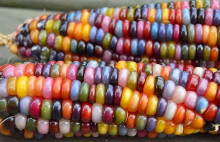 Esta es la increíble historia detrás del maíz de colores - excelsior.com.mx