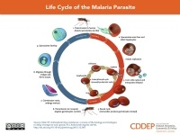 Life Cycle of the Malaria Parasite | Center for Disease Dynamics, Economics & Policy  For more information about how Reach Global helps educate women and girls on health: www.reach-global.org And to donate: is.gd/Hh6pmC