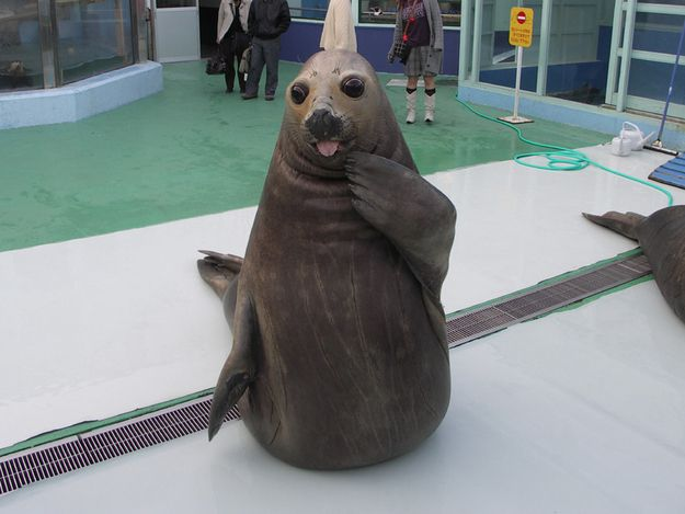 """A seal in the act of saying, """"Who, me?"""" 
