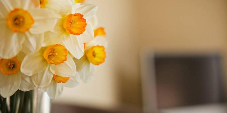 Daffodils, springtime at Vintners Retreat, Marlborough NZ