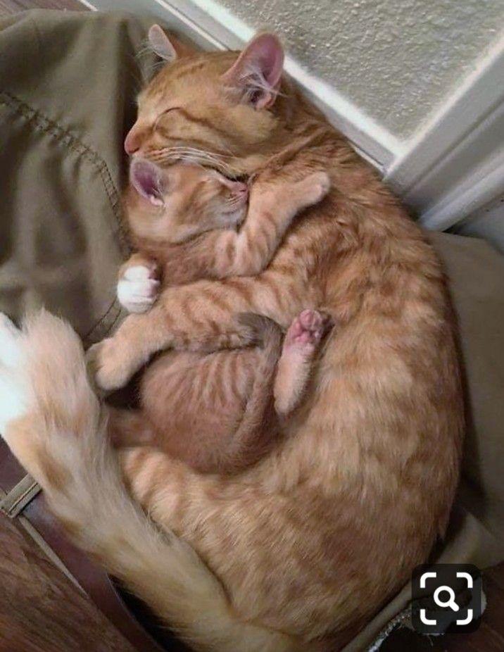 Mummy Protecting Her Baby Cute Baby Animals Cute Animals Cat Hug