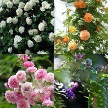 Новый красивая романтическая 6 разнообразие цвета восхождение роуз семена роза многолетнее ароматный цветок домашнего декора(China (Mainland))