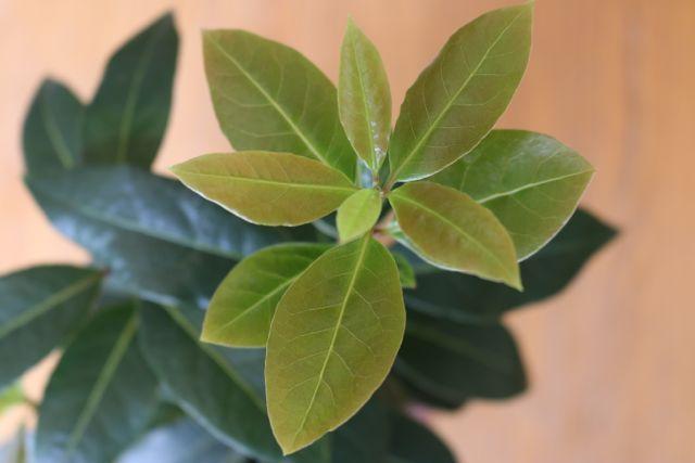 25 Best Ideas About Laurus Nobilis On Pinterest Topiary