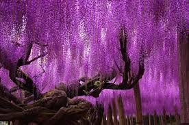 Фиолетовые деревья