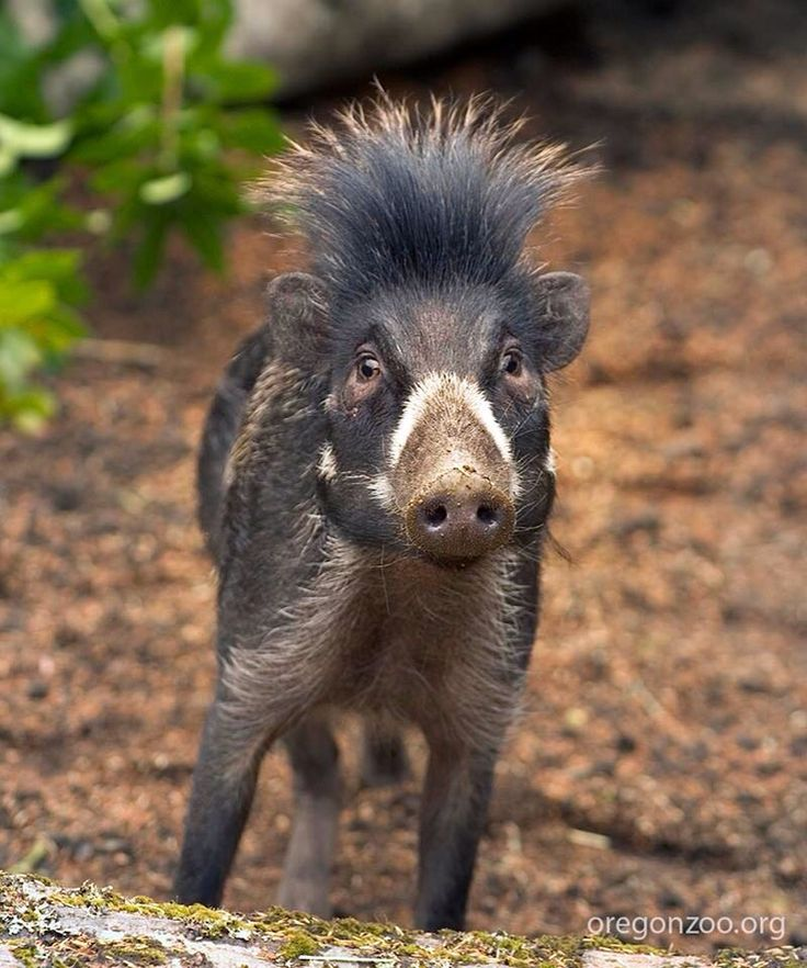 "The Visayan warty pig is a critically endangered species of pig endemic to two of the Visayan Islands in the central Philippines, It is threatened by habitat loss, food shortages, and hunting. The diet of the pig mainly consists of roots, tubers, and fruits that can be found in the forest. The Visayan warty pig receives its name from the three pairs of fleshy ""warts"" present on the visage of the boar. The boars also grow stiff spiky hair. They live in groups of four to six."