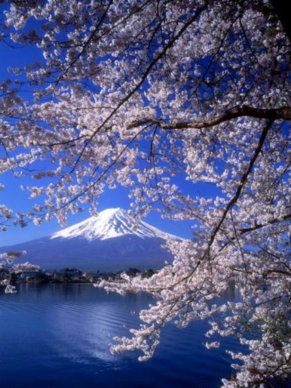 Это прекрасно! Сочетание цветущей сакуры и заснеженной горы