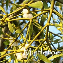 The Mistletoe Legends-Origins of customs associated with Mistletoe use at Yule-Tide