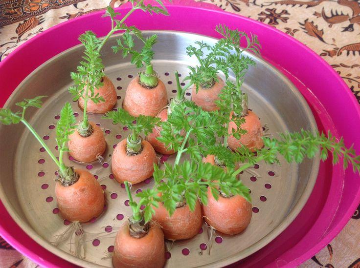 Como rebrotar zanahorias - Parte 2 - Trucos y consejos
