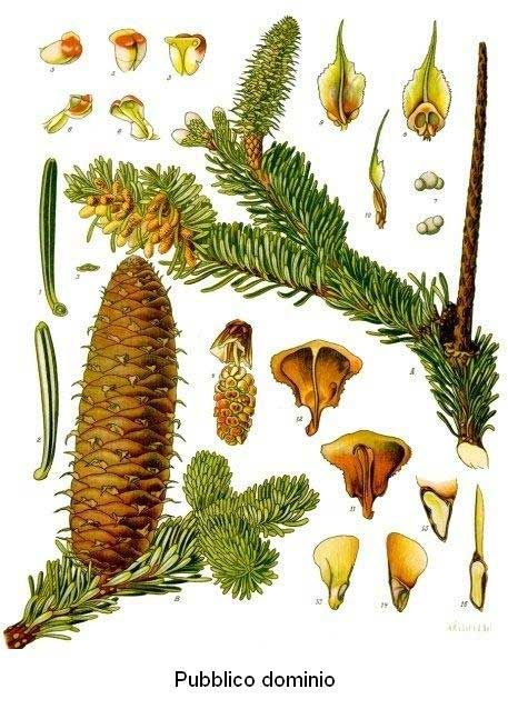 9 Best Concolor Fir Images On Pinterest Firs Christmas