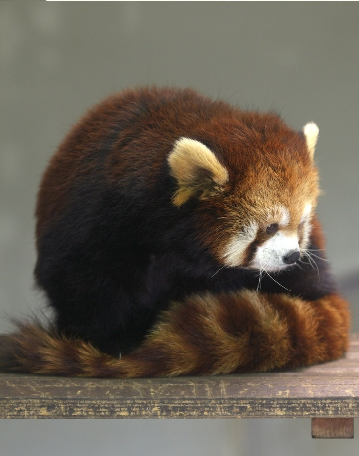 Holding a red panda is on my bucket list.