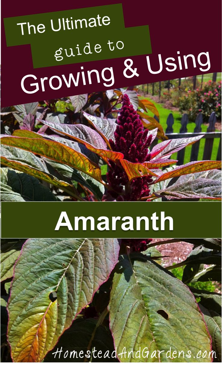 Rice seed for planting - Growing Amaranth A Seed Grain Related To Quinoa