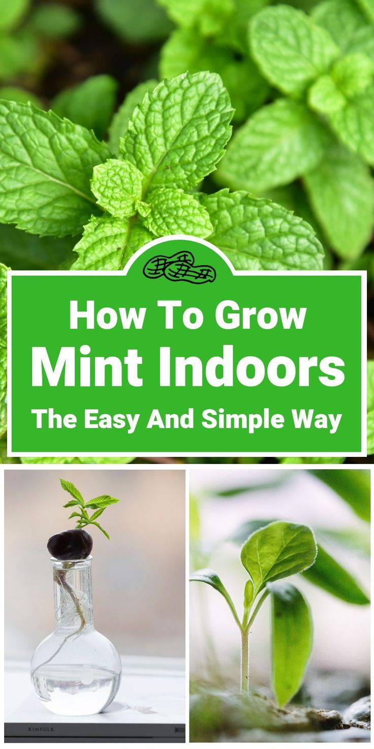 How To Grow Mint Indoors The Easy And Simple Way Eco Peanut Growing Mint Indoors Easy Herbs To Grow Growing Mint