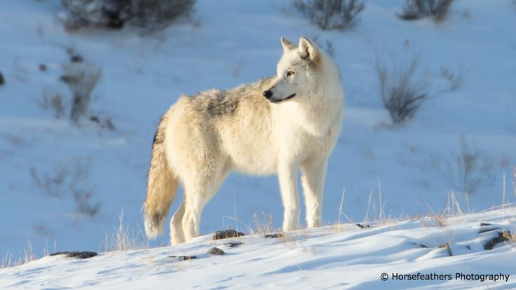 Wildlife Services has received hundreds of thousands of dollars from Idaho Governor Butch Otter's Wolf Depredation Control Board to help carry out the state's relentless wolf killing program. The goal: to artificially boost elk numbers for sport hunters and outfitters.   It is simply shocking for Secretary...