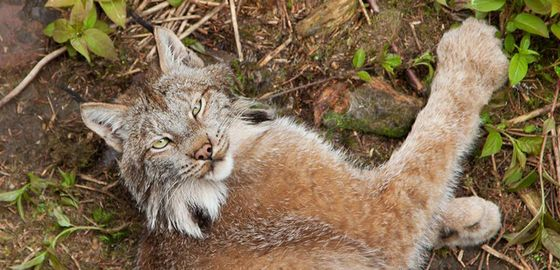 Canadian Geographic Photo Club - The lynx, my love