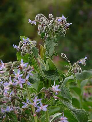 Gurkört, Borago officinalis Egen anm: Viktoriansk växt enligt brittiskt tv-program.