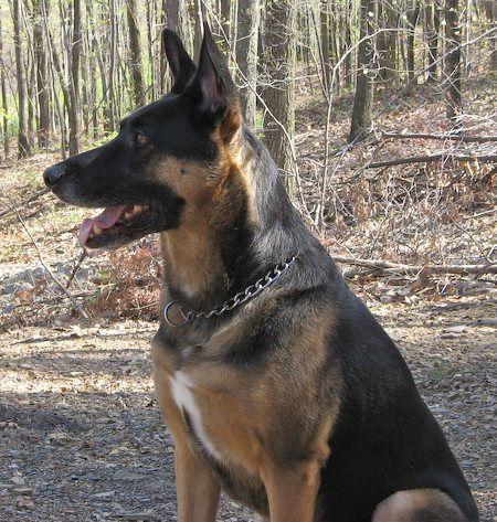Black short haired german shepherd for sale