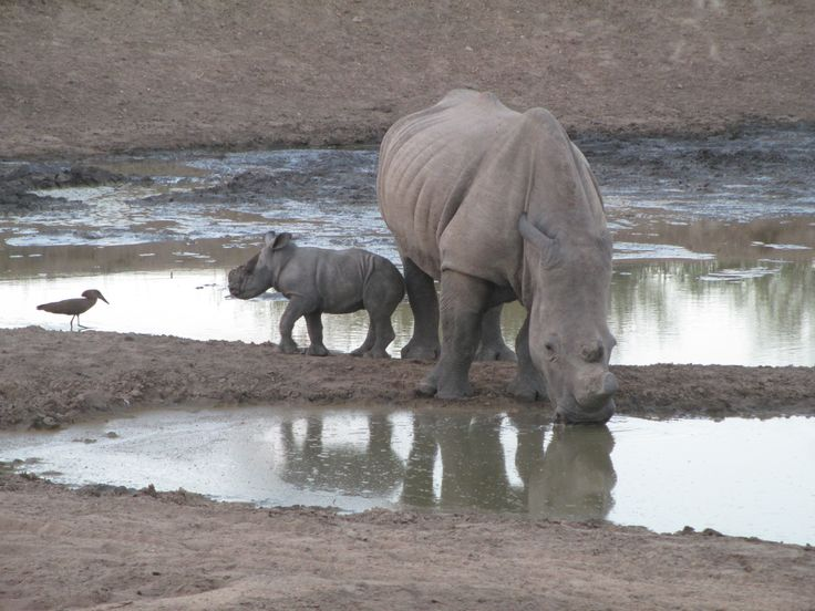 Baby Rhino has a challenge with a Hammerkop.
