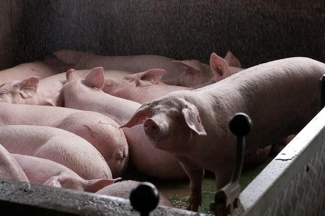 Schweine sind kurz vor Ihrer Schlachtung sehr nervös (Transportweg, neues Umfeld, enge Gänge, der Geruch von Tod liegt in der Luft), daher werden sie mit Wasser berieselt (wie eine Dusche, angenehmer Regen), das beruhigt sie.