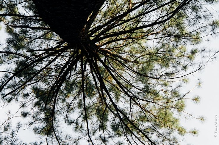 Pine tree - One afternoon in the pine forest