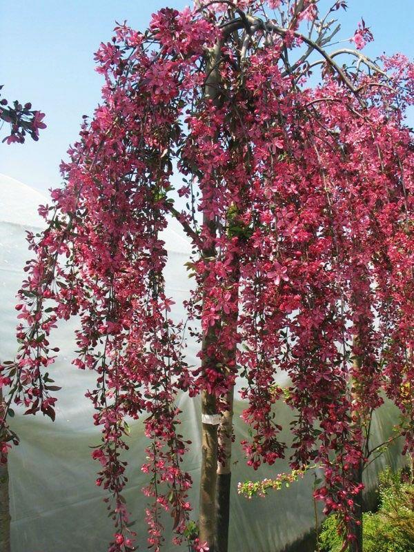 Jablon Ozdobna Crabapple Tree Flowering Trees Apple Tree Yard